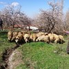 İlçemizde çiftçilere tavuk ve koyun dağıtıldı