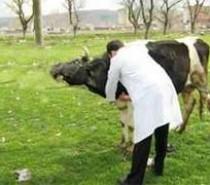 Kale'de genç çiftçilere hibe damızlık düveler dağıtıldı